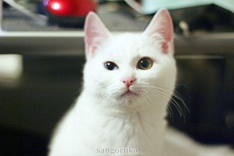 f:id:sangoruka_cats:20171109132013j:plain