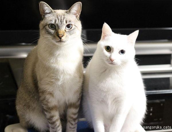 f:id:sangoruka_cats:20180222193447j:plain