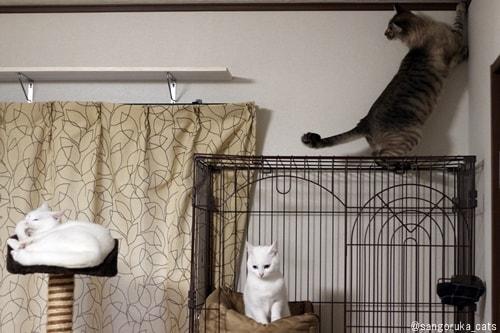 f:id:sangoruka_cats:20180308174103j:plain
