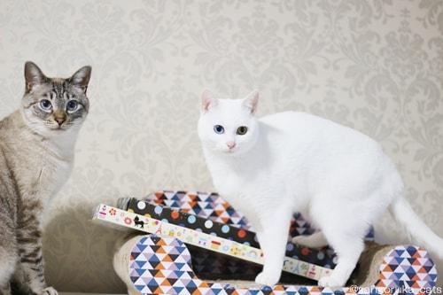 f:id:sangoruka_cats:20180404001158j:plain