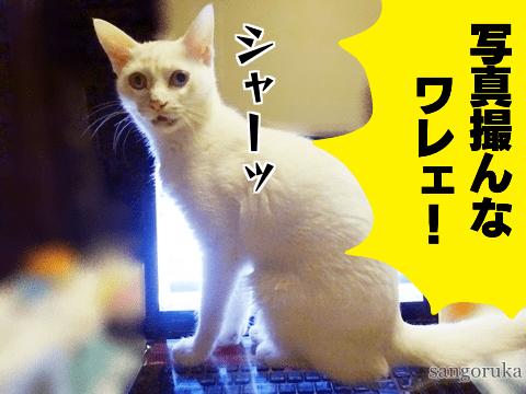 f:id:sangoruka_cats:20181010161648p:plain