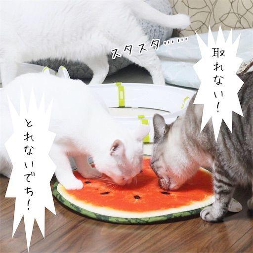 f:id:sangoruka_cats:20190813234142j:image