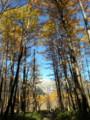 上高地カラマツの森