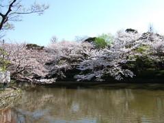 鶴岡八幡宮源氏池とサクラ