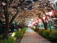 お堀端通り桜並木(ライトアップ)