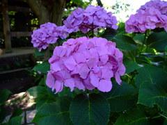 瑞泉寺の紫陽花