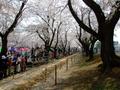 [桜]桜流鏑馬の馬場
