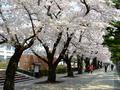 [桜]十和田市官庁街通り駒街道の桜並木