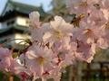[桜][花]弘前城本丸のサクラ