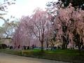[桜]弘前城本丸のシダレザクラ