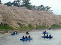 [桜]ボートで賑わう弘前城西堀