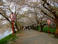 [桜]弘前城桜のトンネル