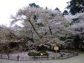 [桜]日本最古のソメイヨシノ
