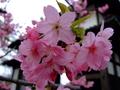 [桜][花]弘前城東門裏の八重桜