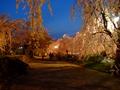 [夜景][桜]弘前城本丸のサクラ