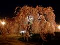 [夜景][桜]弘前城本丸シダレザクラ