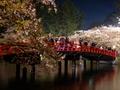 [夜景][桜]弘前城春陽橋