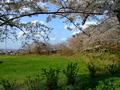 [桜]桜の石川城跡