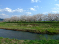 [桜]浪岡川対岸の桜並木