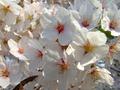 [桜][花]浪岡城跡のサクラ