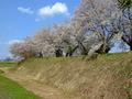 [城郭][桜]浪岡城土塁と桜並木