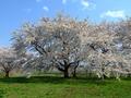 [桜]浪岡城西館跡のサクラ