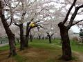 [桜]五稜郭のサクラ