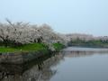 [桜][城郭]五稜郭の水堀と桜