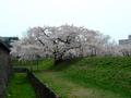[桜]五稜郭半月堡のサクラ