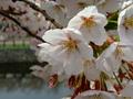 [桜][花]五稜郭のサクラ