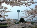 [桜]五稜郭タワーと桜