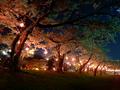 [夜景]五稜郭の夜桜