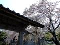 [桜]江差法華寺の桜
