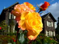 [花]旧古河庭園の秋バラ