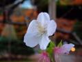 [桜][花]小石川後楽園の冬桜