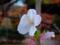 小石川後楽園の冬桜