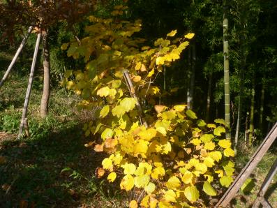 壇香梅の紅葉