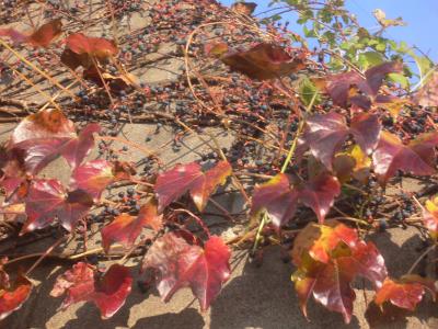 蔦の紅葉と実