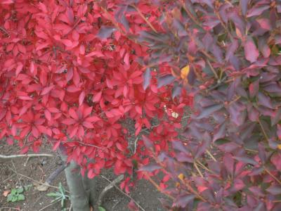 灯台躑躅(ドウダンツツジ)の紅葉