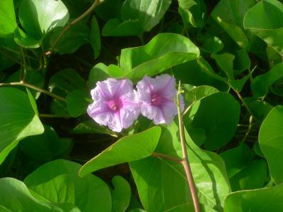 サツマイモの花