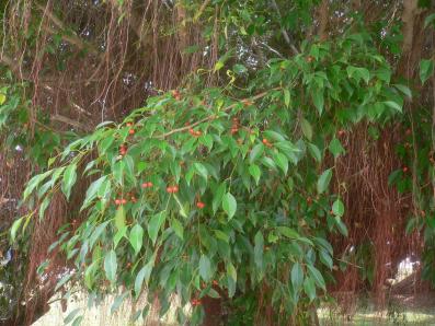 ガジュマル(榕樹)