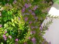 メキシコ花柳