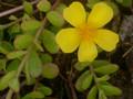 花スベリヒユ