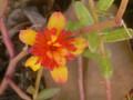 八重の花スベリヒユ