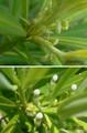 犬槇の雌花