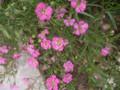 霞草:一重赤花