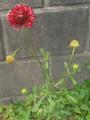 西洋松虫草