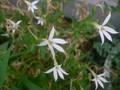 イソトマ:白花