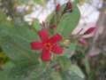 南洋桜:ドバイ