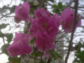 南国花:ドバイ